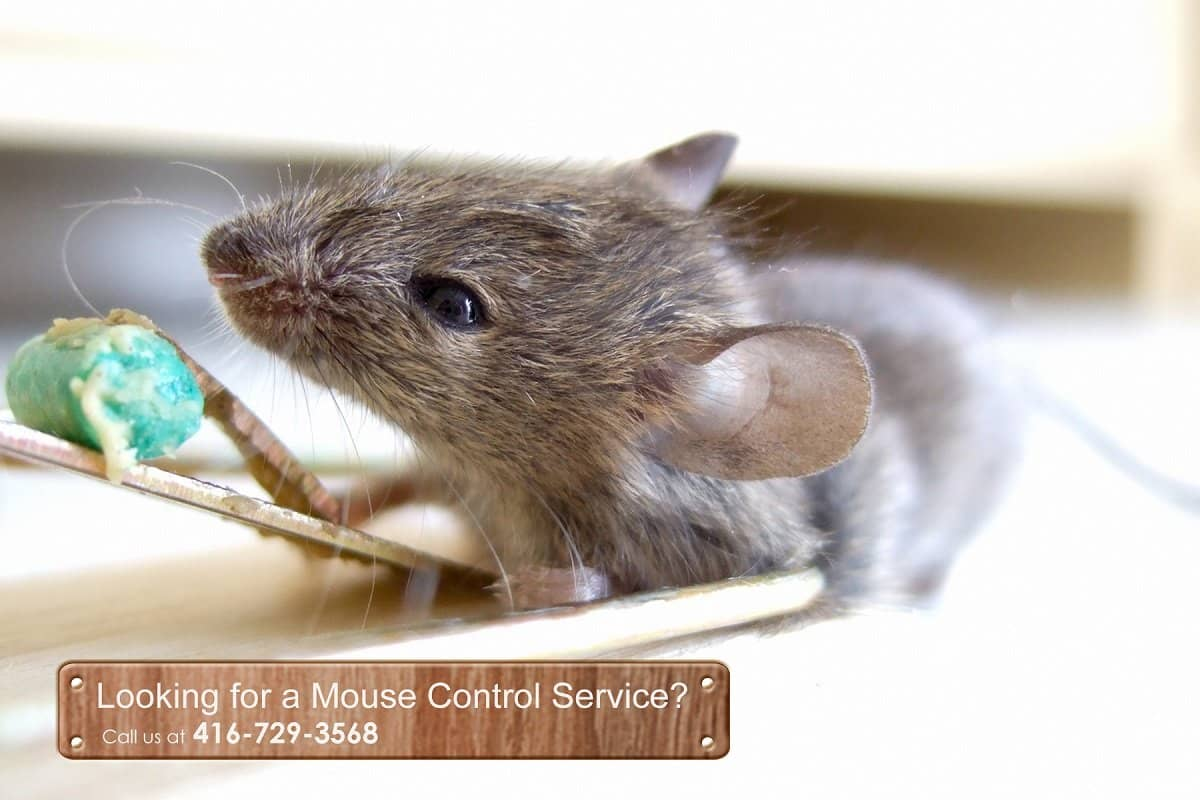 Mouse-and-Mice-COntrol-Vaughan