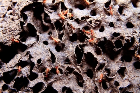 Everything You Need To Know About Canadian Termites