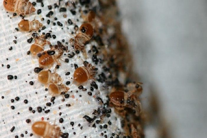 infestation bed bug