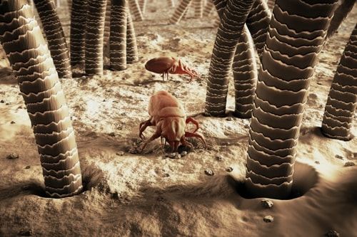 Distinguish Dust Mites from Bed Bugs