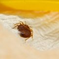 How to deal with bedbugs causing health risks at home
