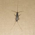 The Silverfish Scourge: How to Rid Yourself of Infestation