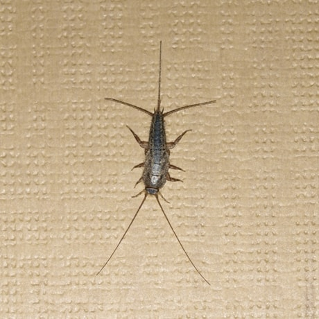 The Silverfish Scourge