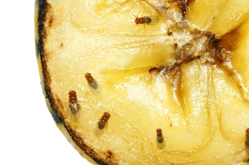 Quick Tips to Rid Your Residence of Resistant Fruit Flies