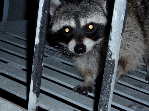 Raccoons in Your Wintertime Home? You're Not Alone