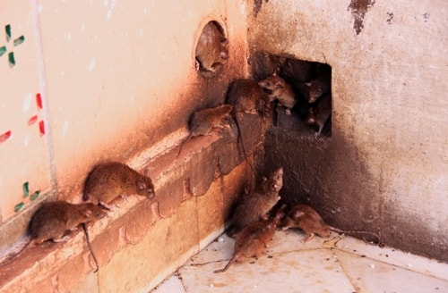 Three Reasons Rats Are Destructive Pests