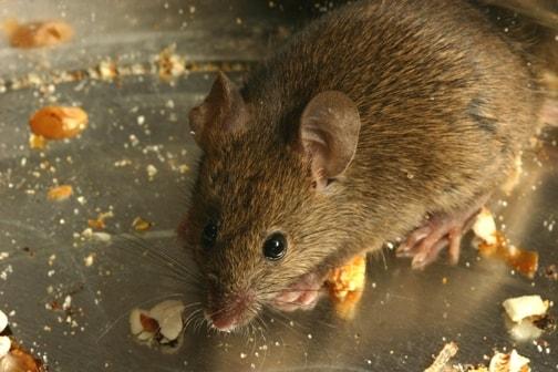 Three Reasons Rats Are Destructive Pests