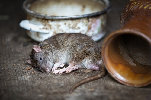 Signs of a Rat Infestation3