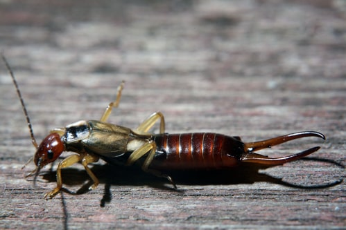 Identifying and Preventing Earwigs in Your Home