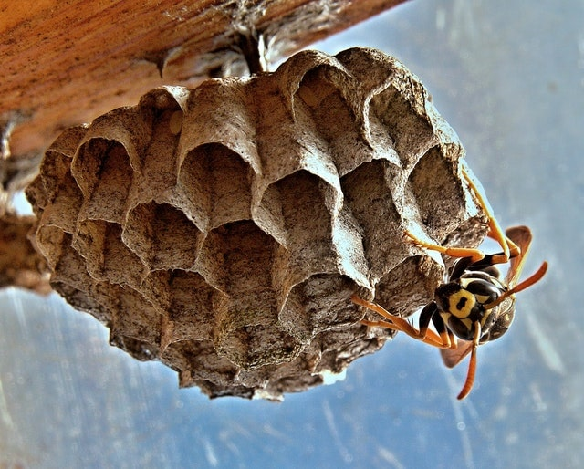3black and yellow wasp