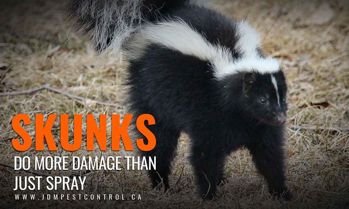 skunks do more damage