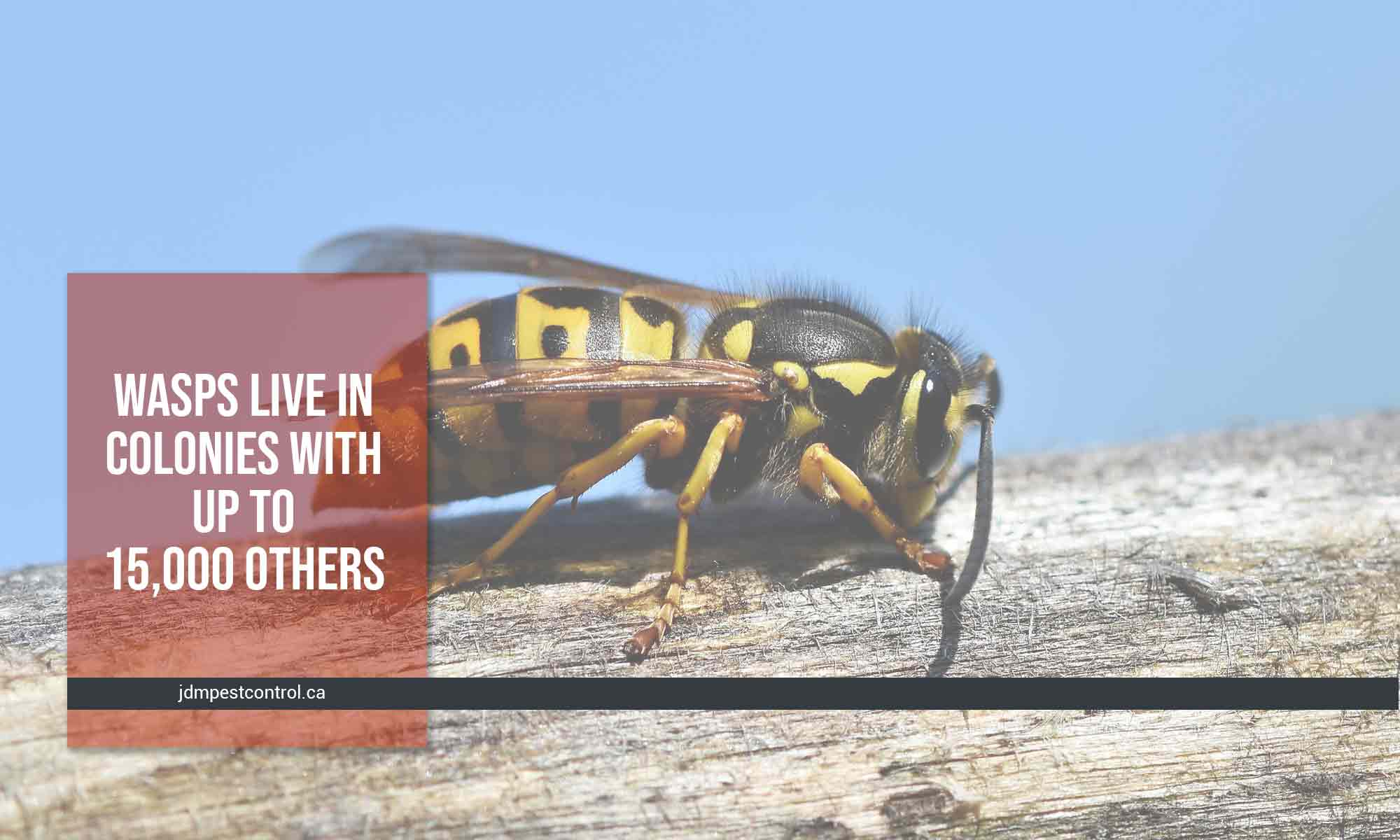 wasps live in colonies