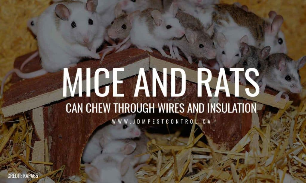 Mice and rats can chew through wires and insulation