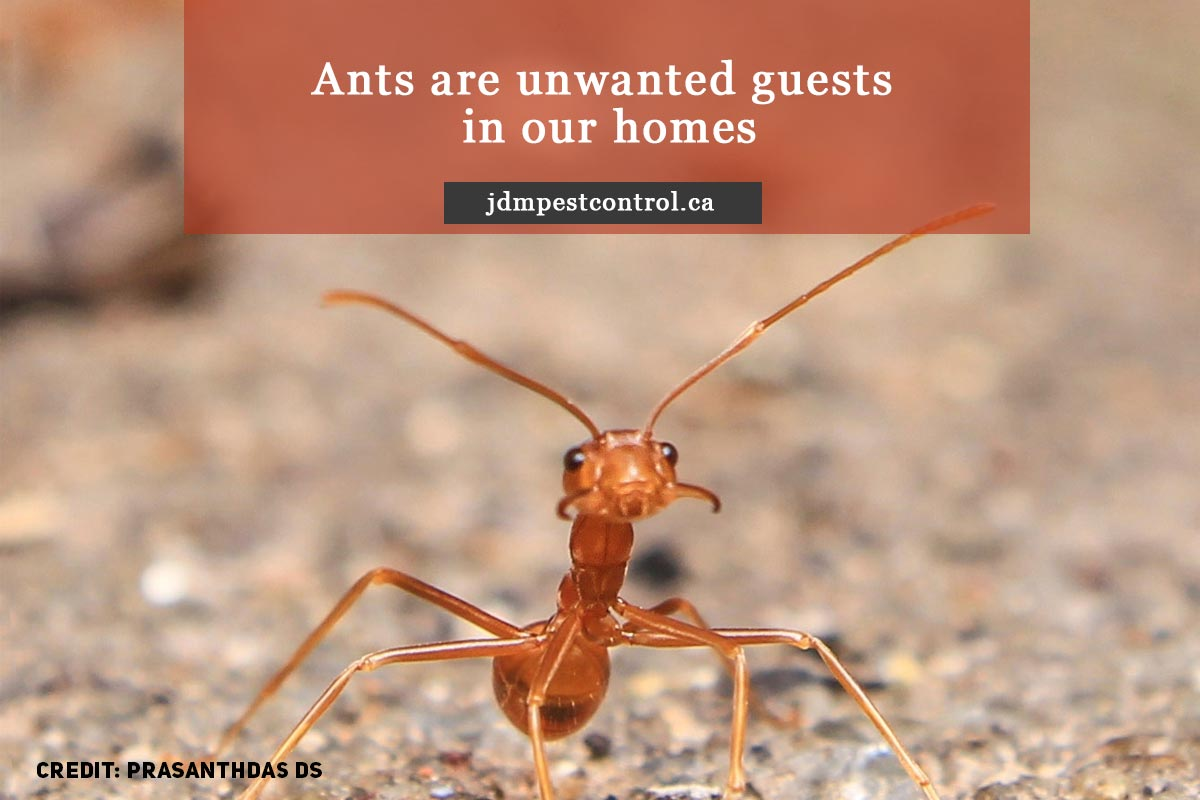 Ants are unwanted guests in our homes