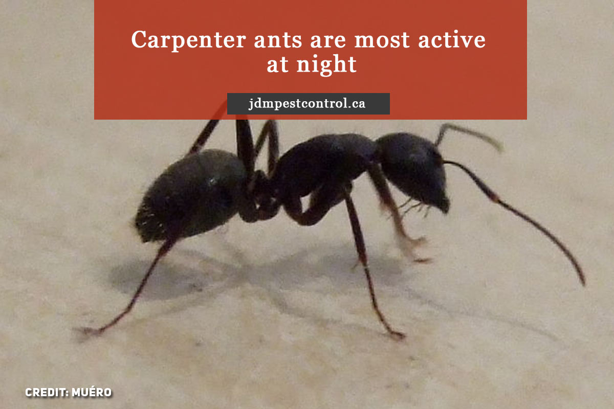 Carpenter ants are most active at night