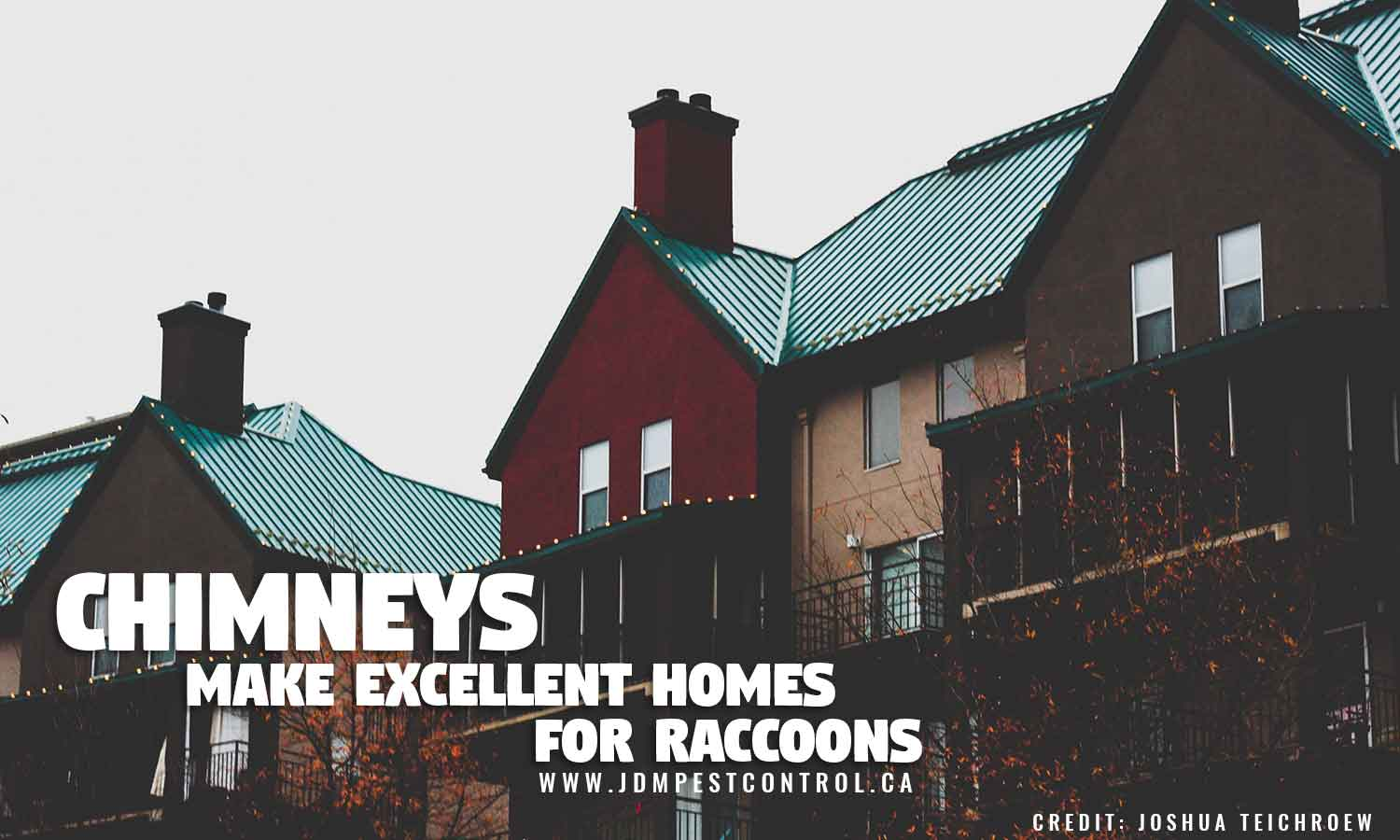 Chimneys make excellent homes for raccoons