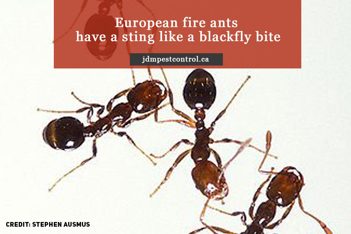 European fire ants have a sting like a blackfly bite