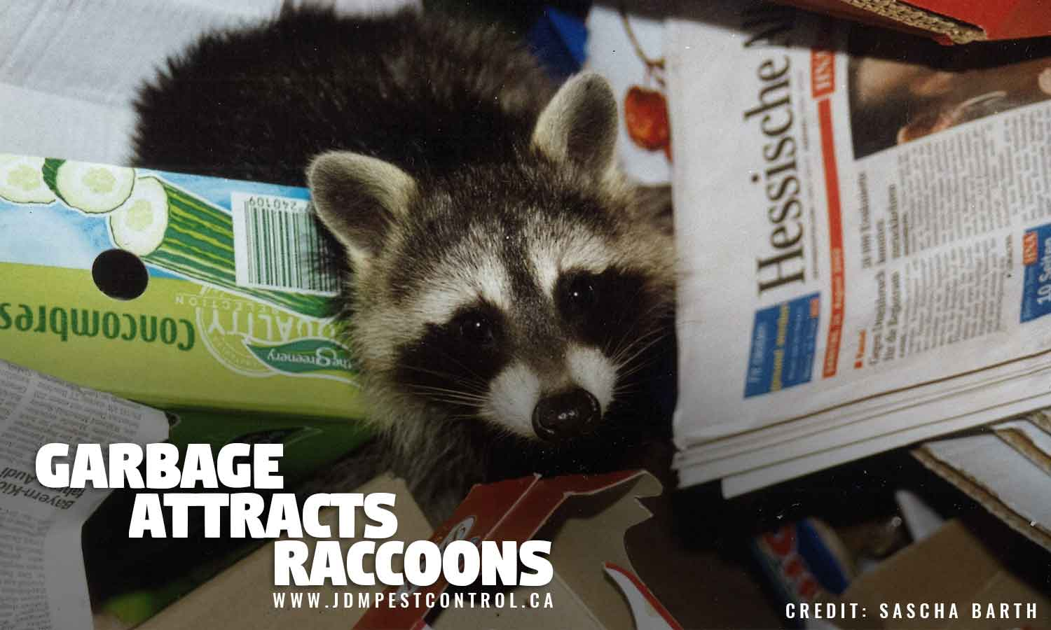 Garbage attracts raccoons