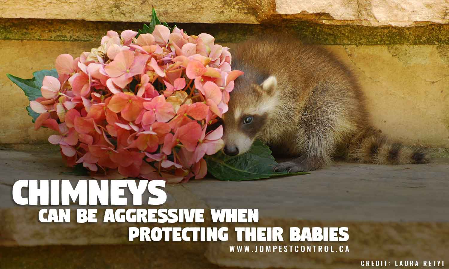 Raccoons can be aggressive when protecting their babies