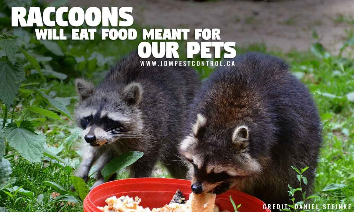 Raccoons will eat food meant for our pets