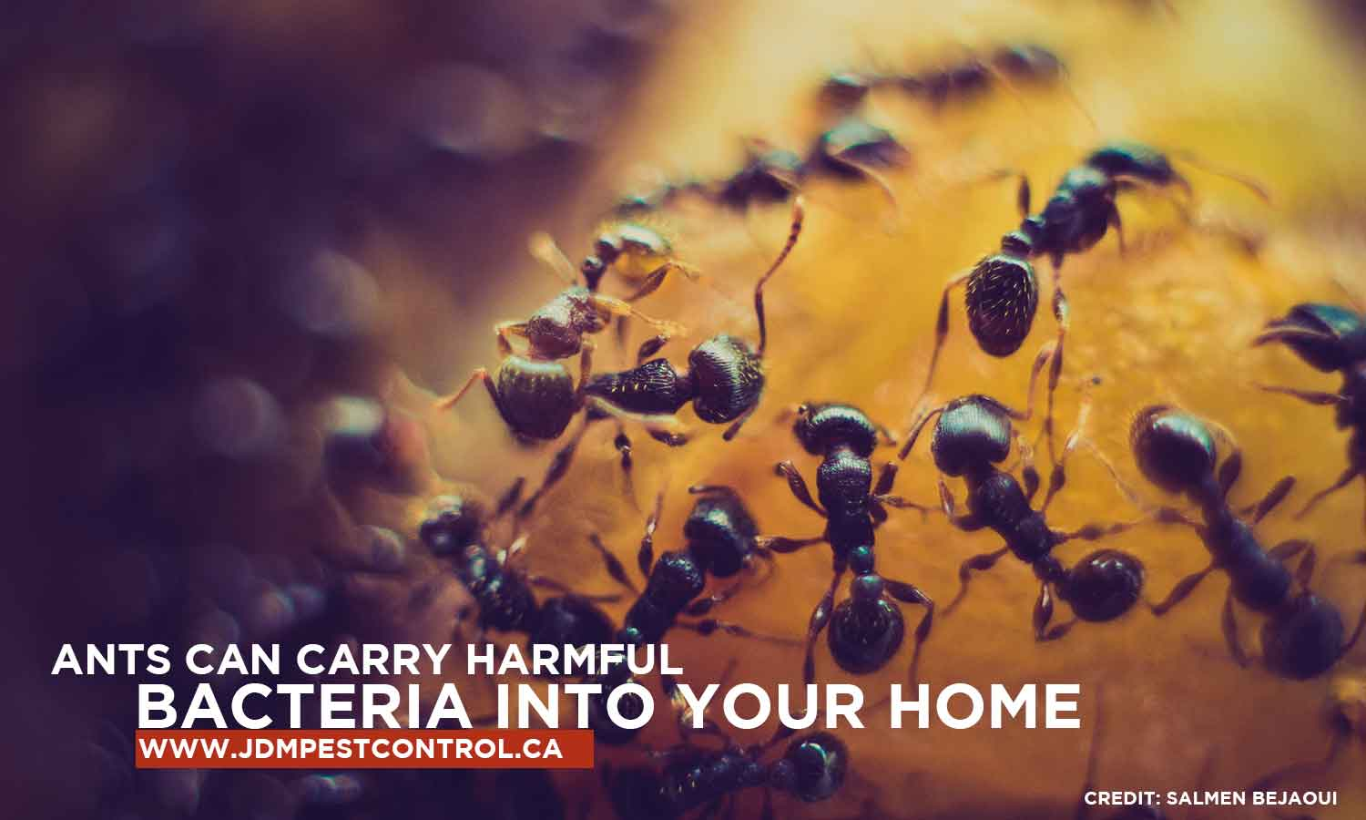 Ants can carry harmful bacteria into your home
