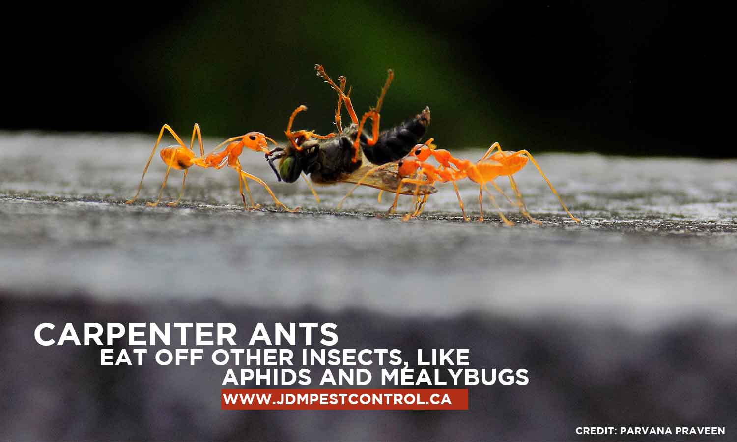 Carpenter ants eat off other insects, like aphids and mealybugs