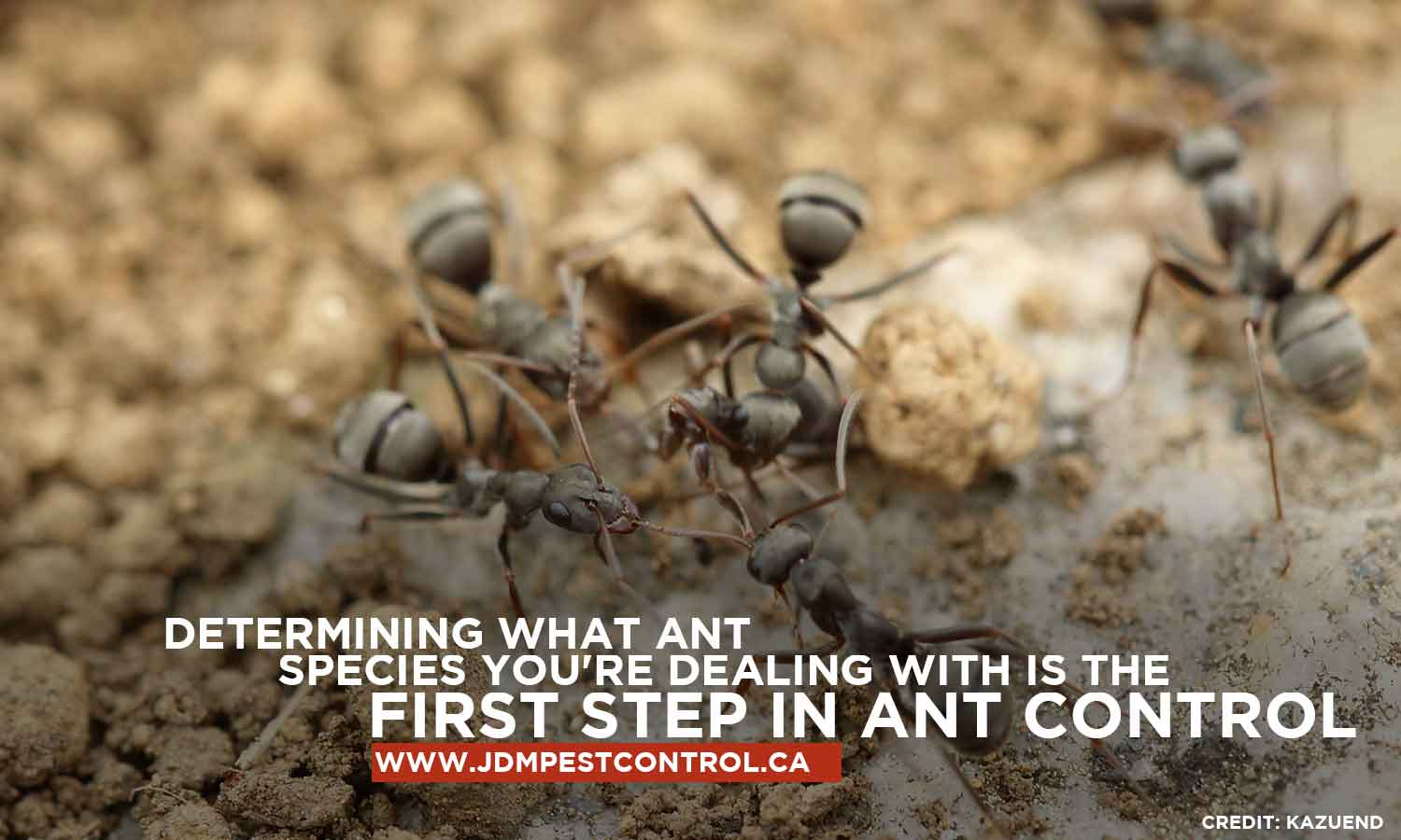 Determining what ant species you're dealing with is the first step in ant control