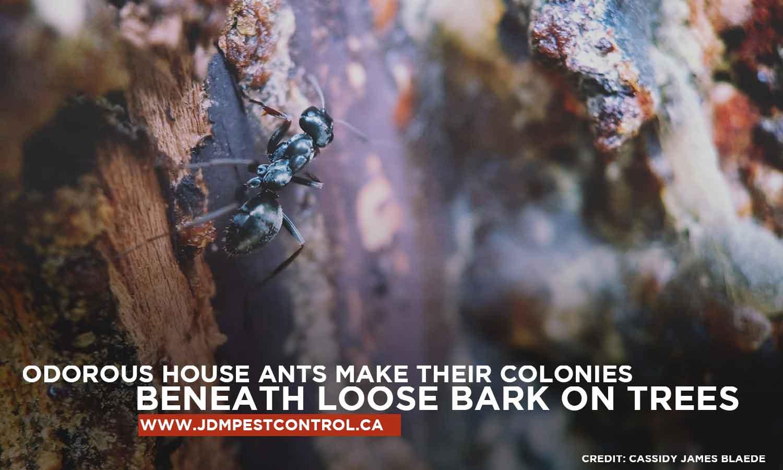 Odorous house ants make their colonies beneath loose bark on trees