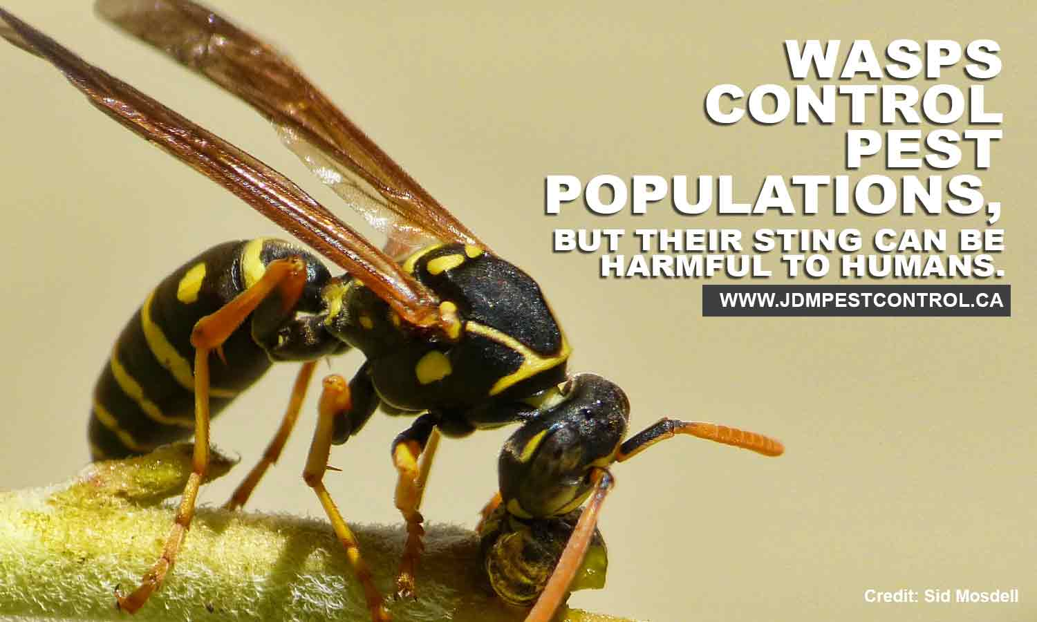Wasps control pest populations, but their sting can be harmful to humans.
