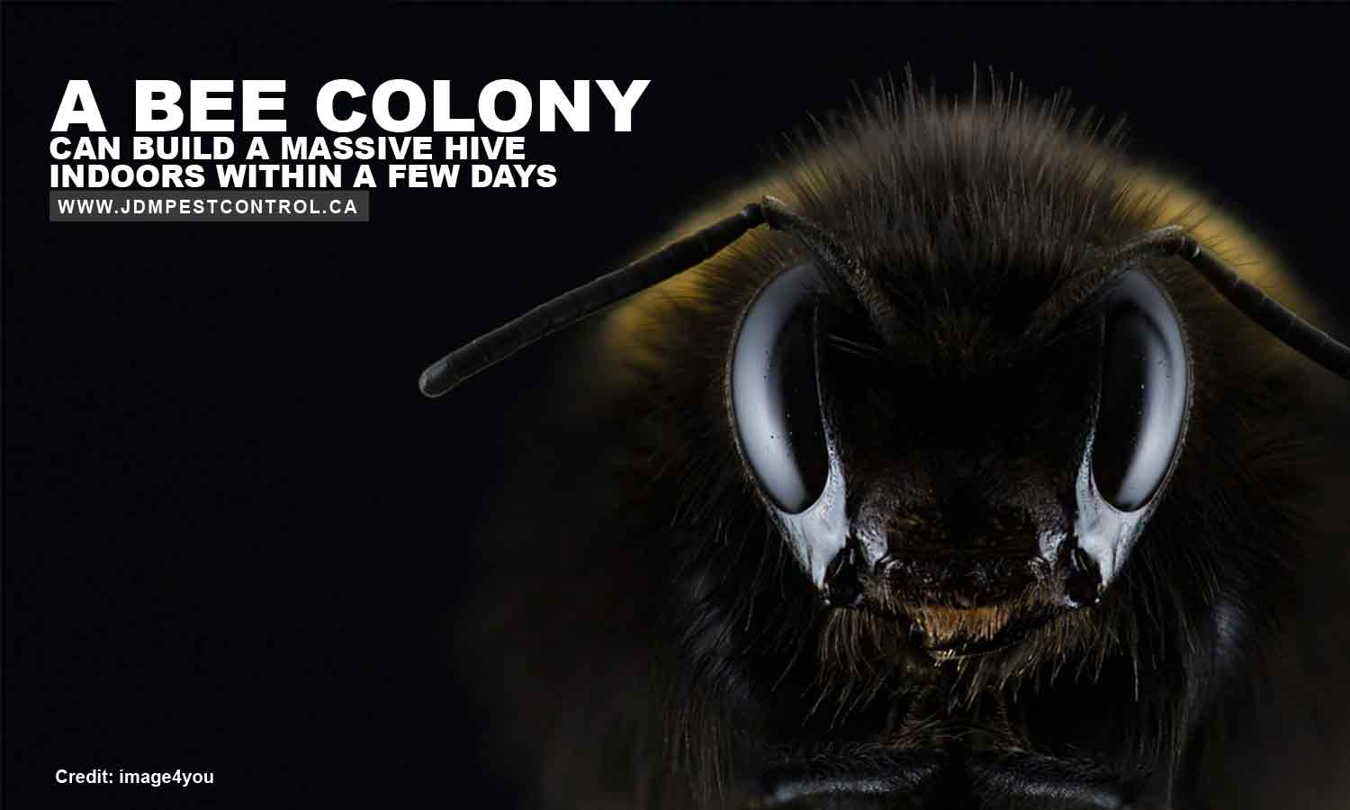 A bee colony can build a massive hive indoors within a few days