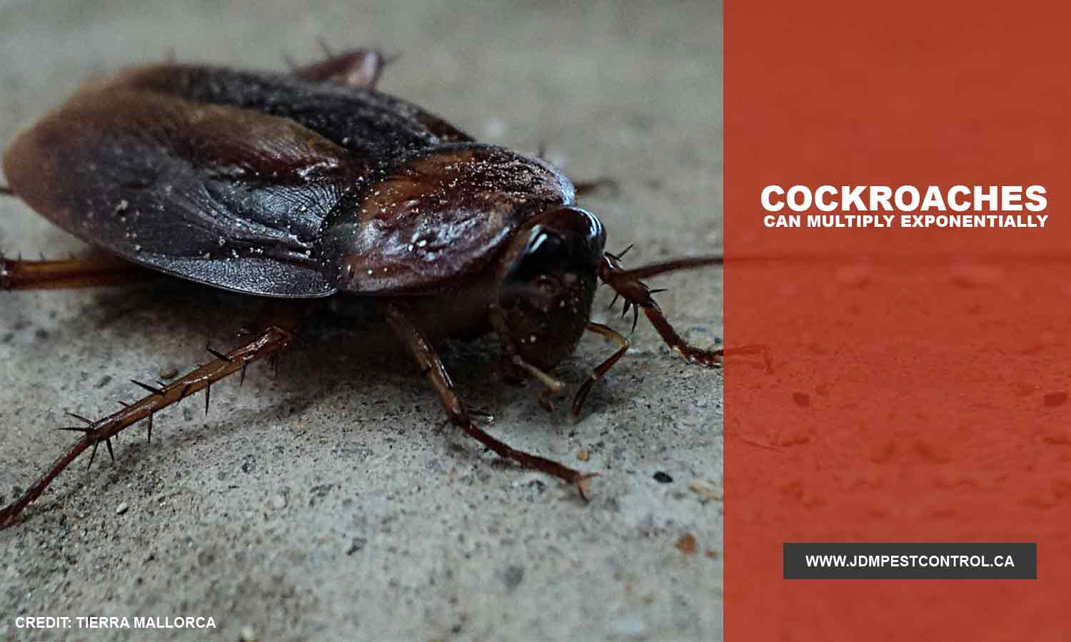 Cockroaches can multiply exponentially