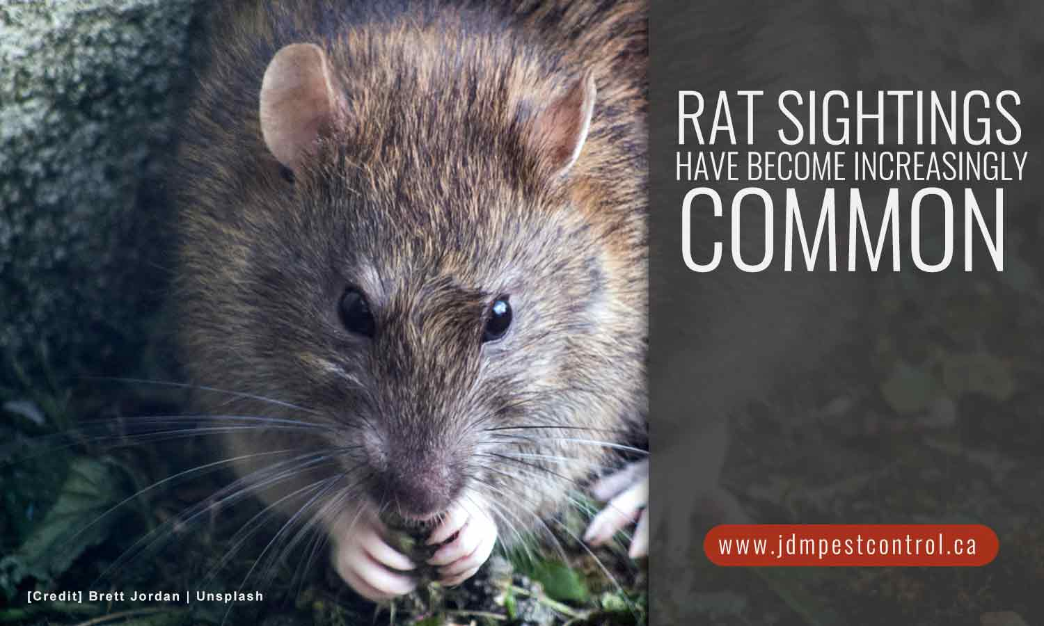 Rat sightings have become increasingly common