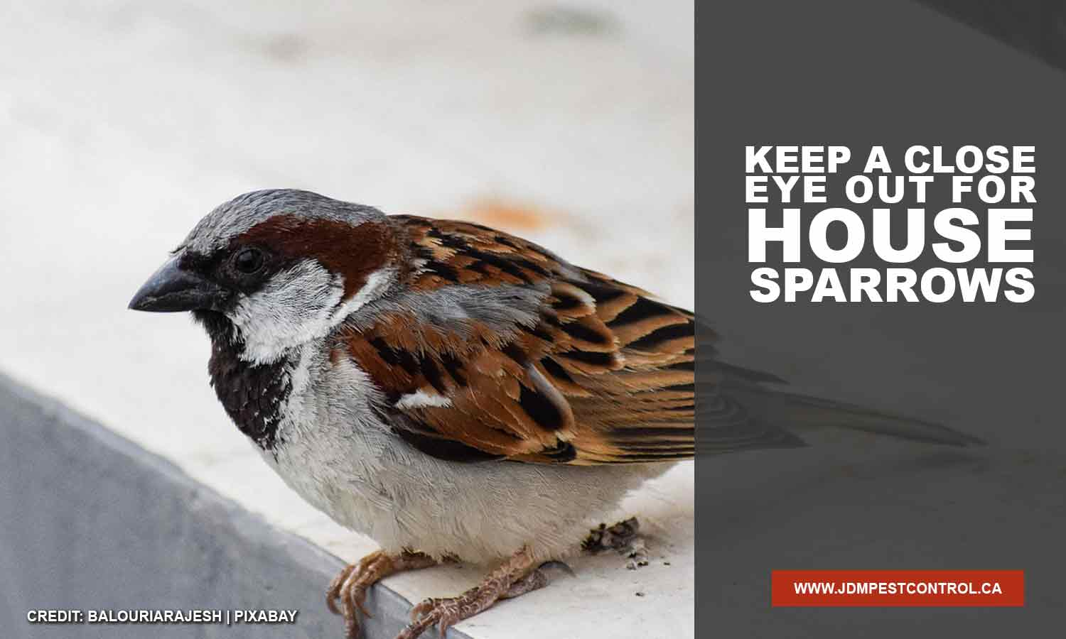 Keep a close eye out for house sparrows