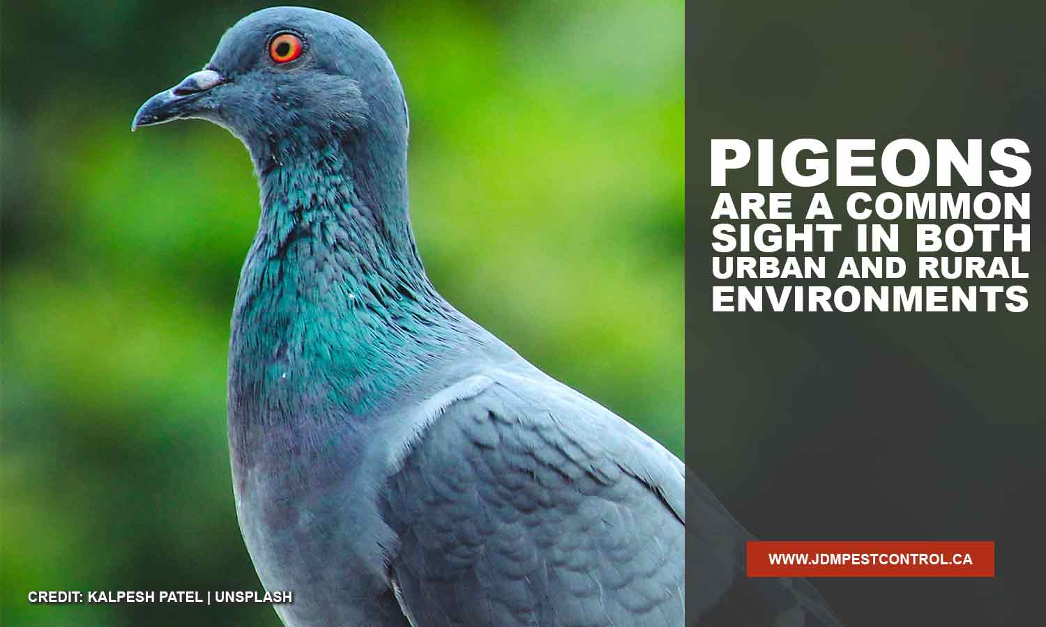 Pigeons are a common sight in both urban and rural environments