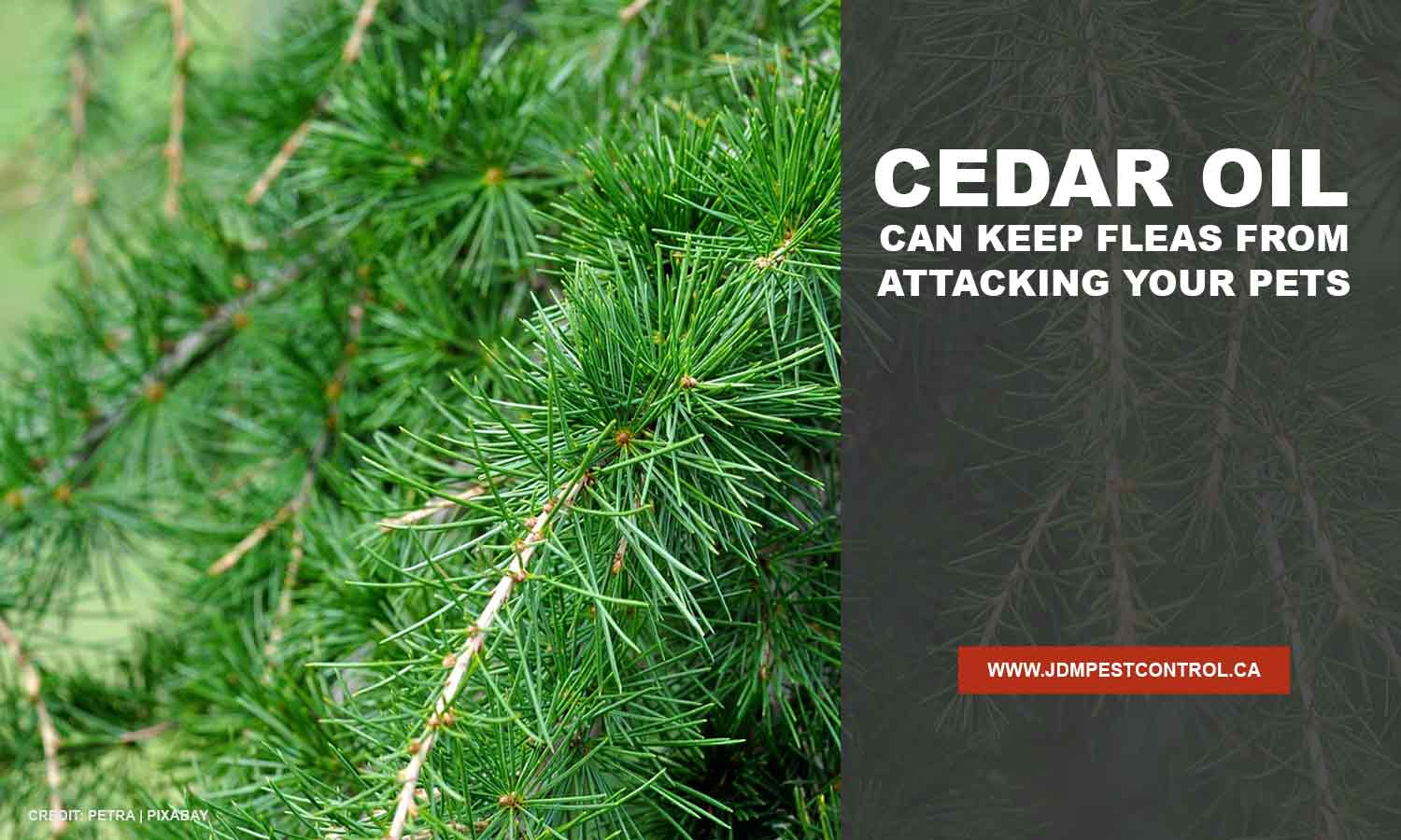 Cedar oil can keep fleas from attacking your pets