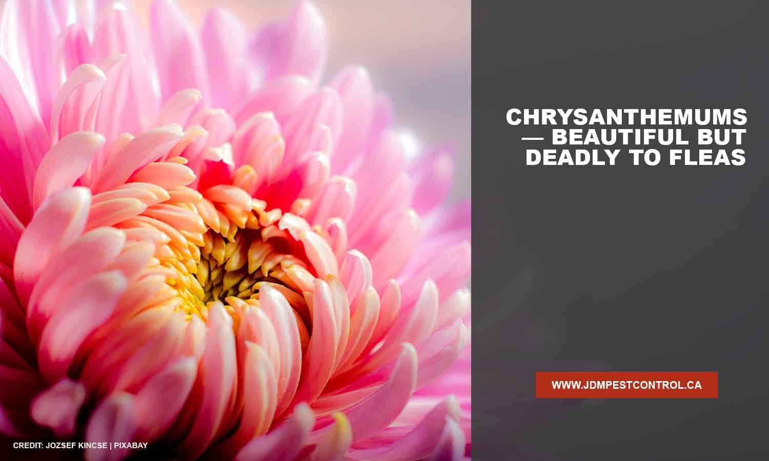 Chrysanthemums — beautiful but deadly to fleas