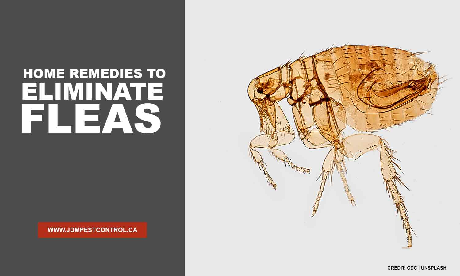 Home Remedies to Eliminate Fleas