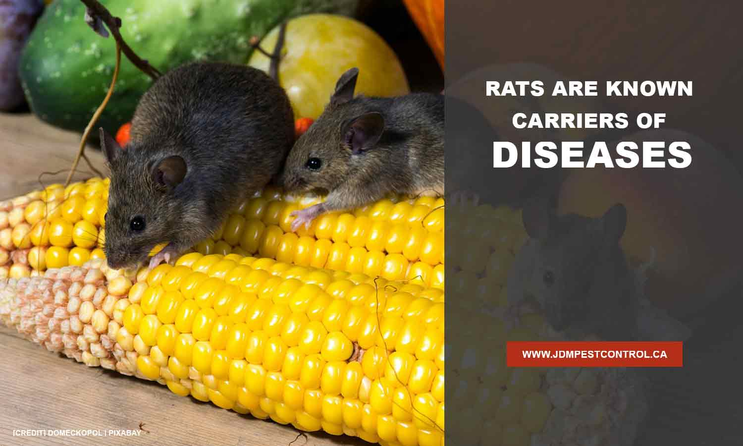 Rats are known carriers of diseases