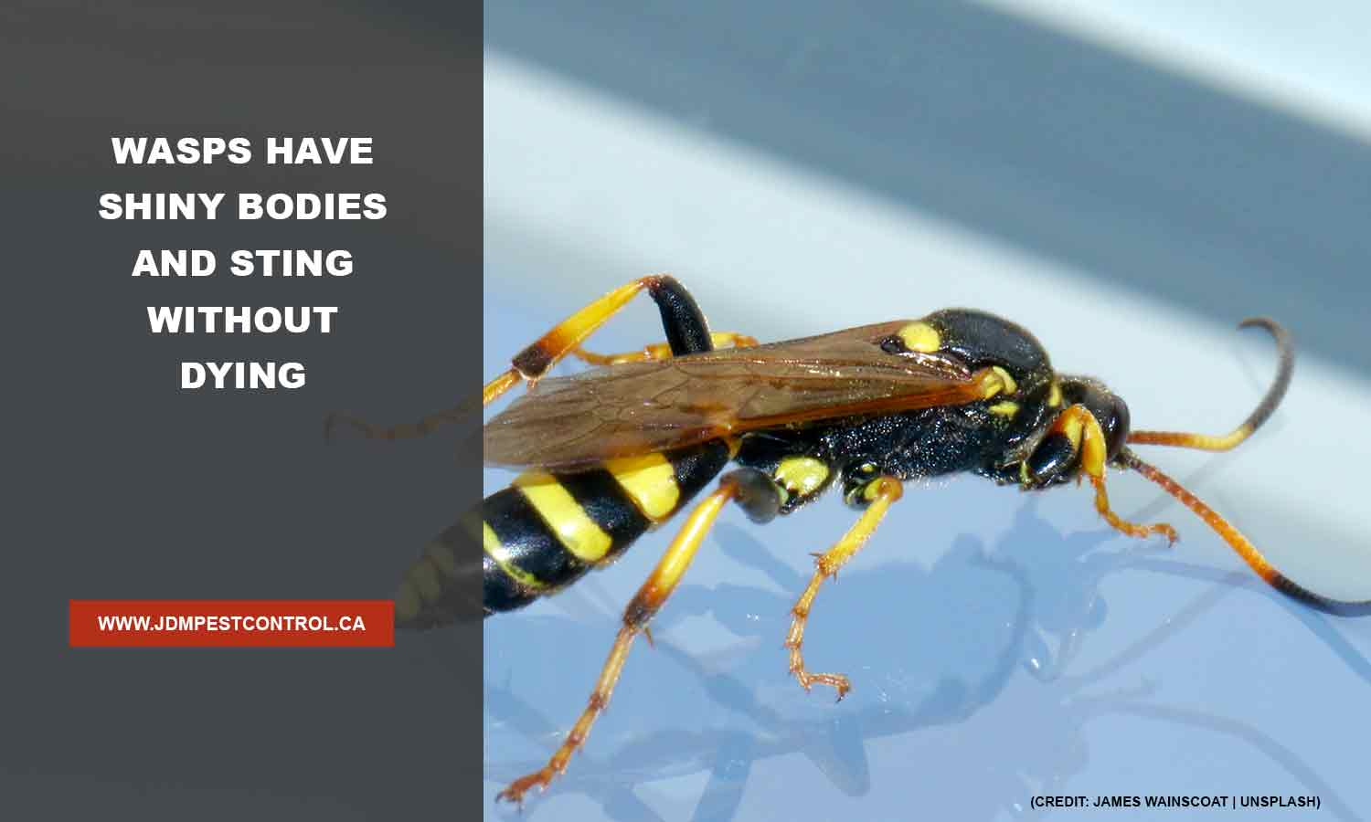 Wasps have shiny bodies and sting without dying