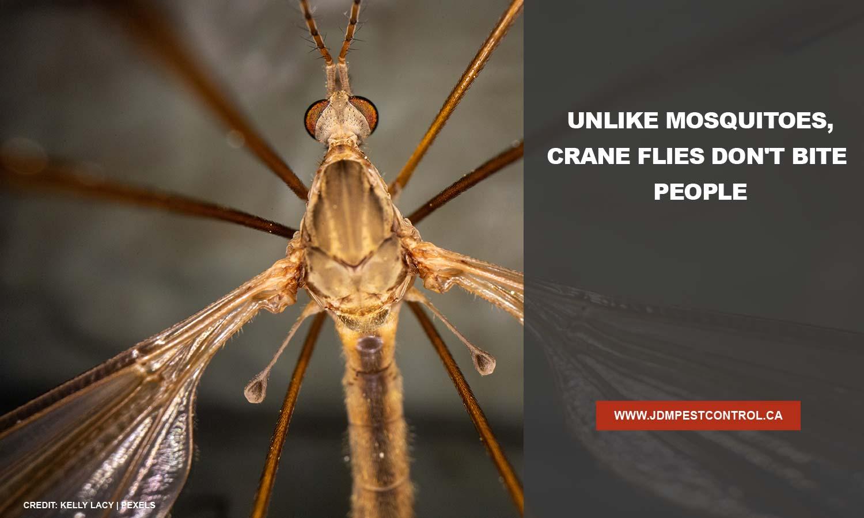 Unlike mosquitoes, crane flies don't bite people