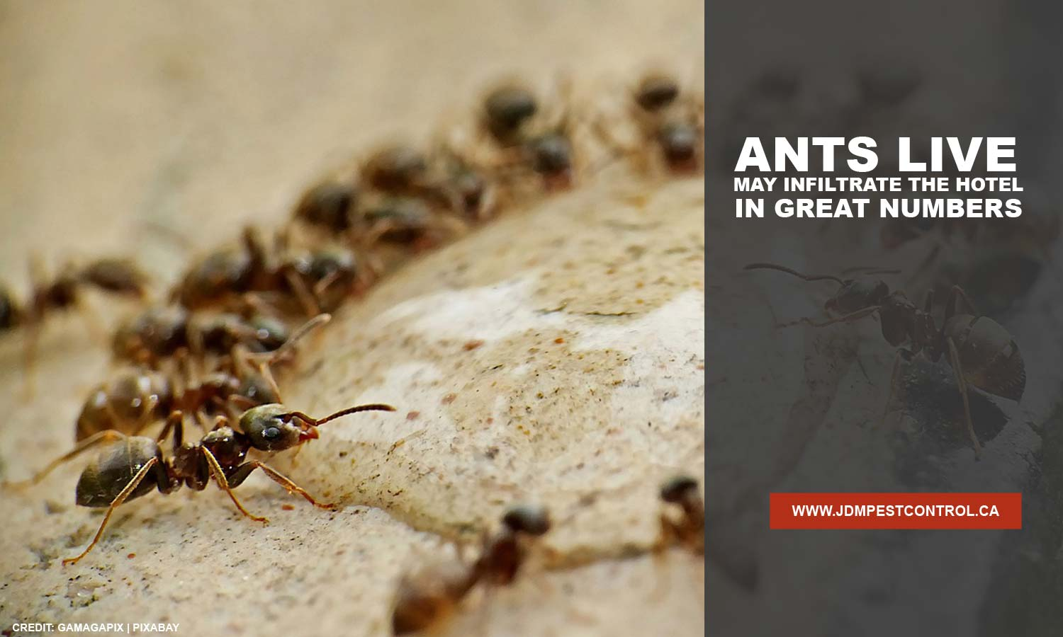 Ants live may infiltrate the hotel in great numbers