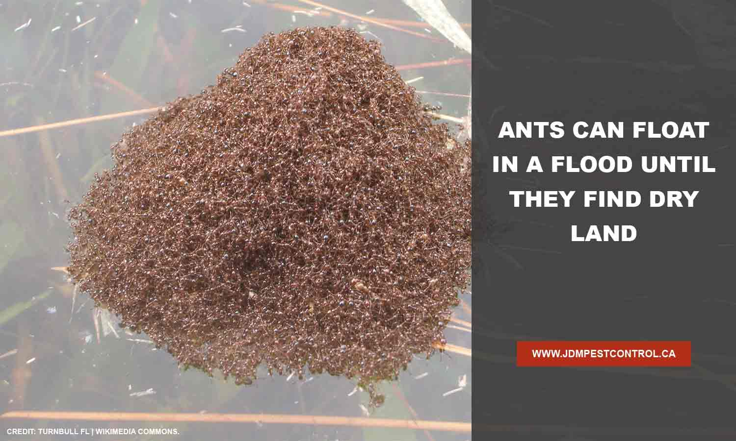 Ants can float in a flood until they find dry land