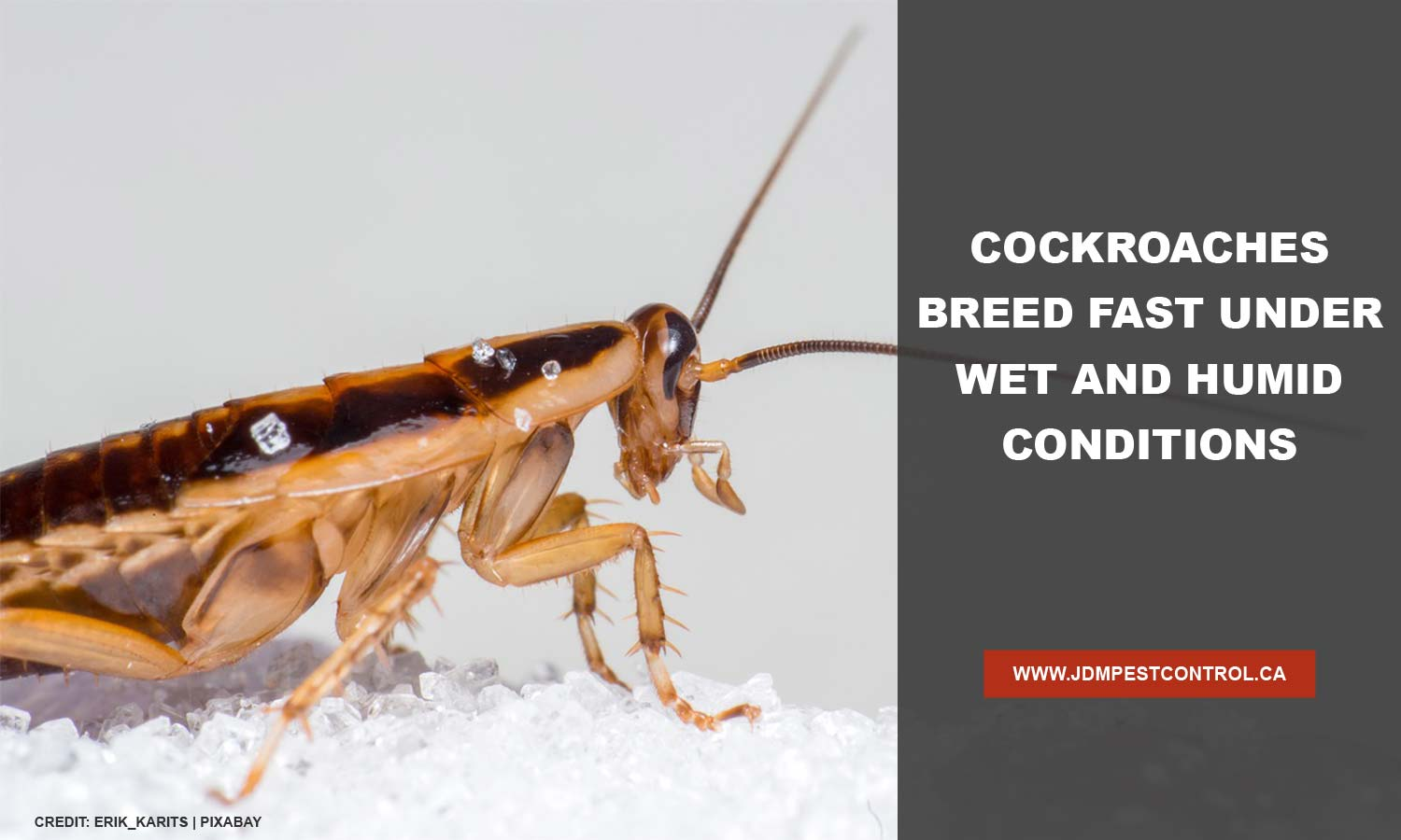 Cockroaches breed fast under wet and humid conditions