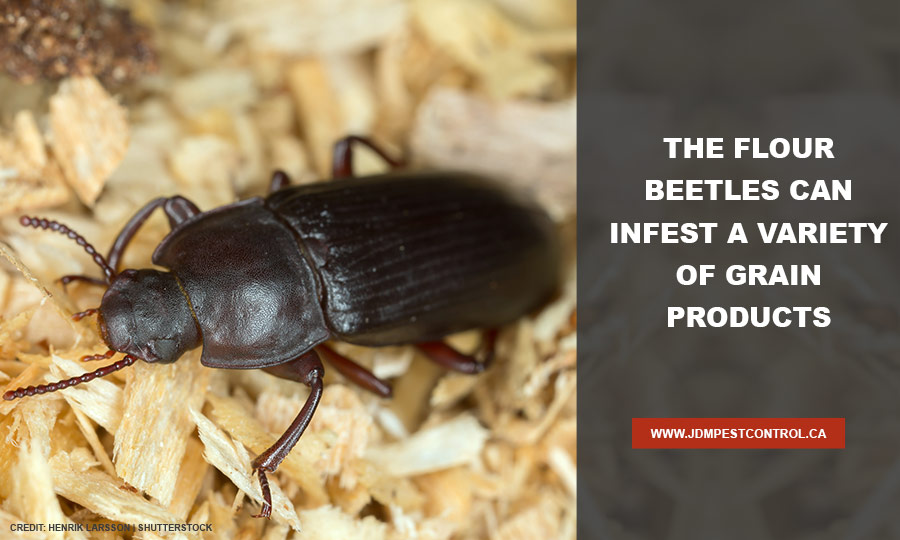 The flour beetles can infest a variety of grain products