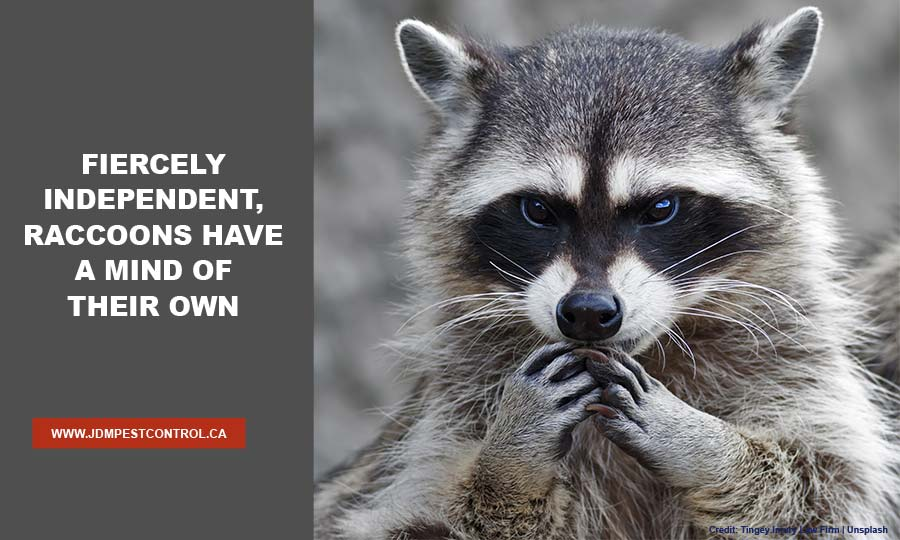 Fiercely independent, raccoons have a mind of their own