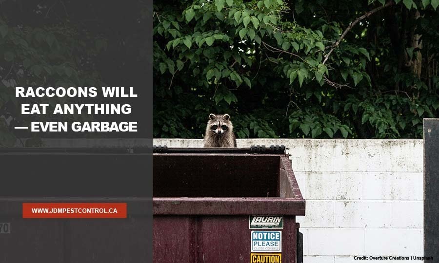 Raccoons will eat anything — even garbage