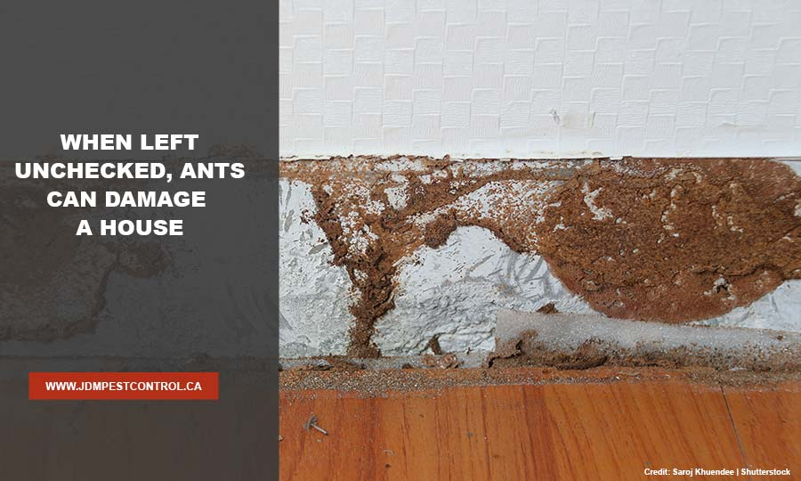 When left unchecked, ants can damage a house