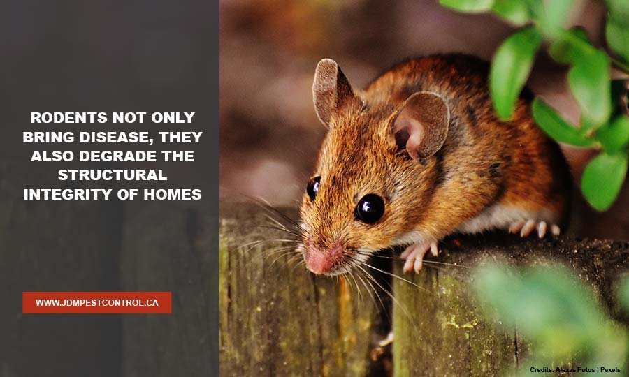 Rodents not only bring disease, they also degrade the structural integrity of homes